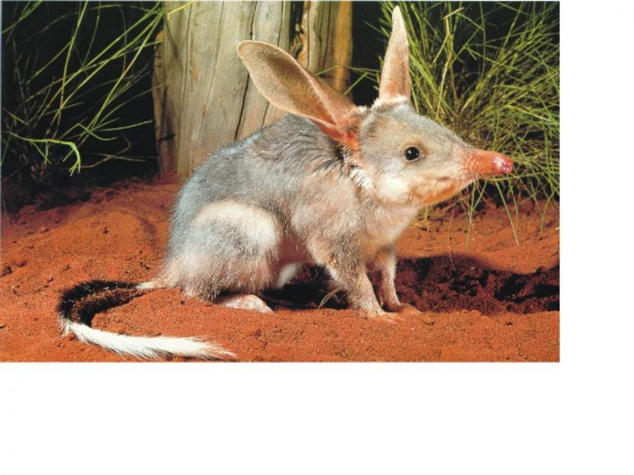 BHS Creature Feature, Pt. 1: The Bilby